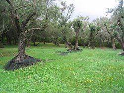 Fresh grass beneath the olive trees