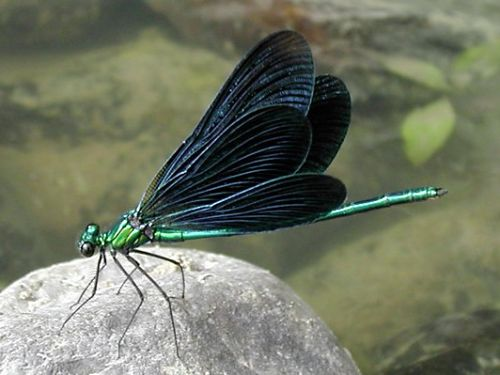 Black winged dragonfly - photo#9