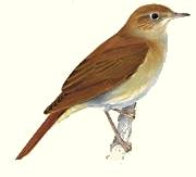 Photograph of Nightingale