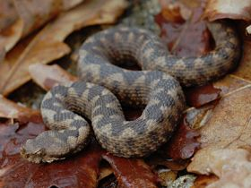 For comparison a Nose-horned Viper and Dice Snake are s